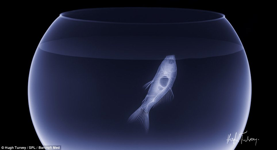 A buoyant picture: This photograph shows the delicate bone structure of a fish as it swims through its bowl
