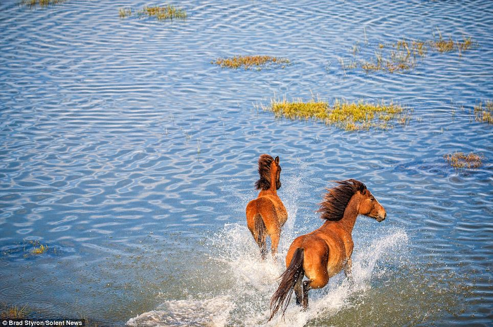 Wild at heart: Between 110 to 130 horses make up the wild herd, kept under control with occasional adoption enforced by the Foundation for Shackleford Horses