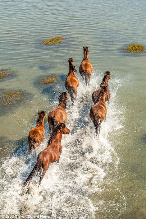 Follow the leader: The horses charge through the clear shallow waters