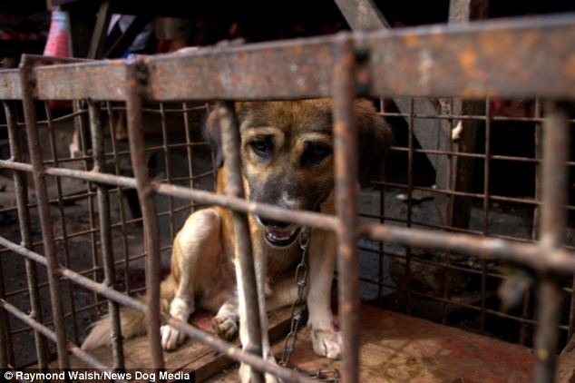Sad: Not only is this dog likely to be turned into meat, it is also chained to the floor of a cramped cage, leaving it barely able to move in the hours before its death