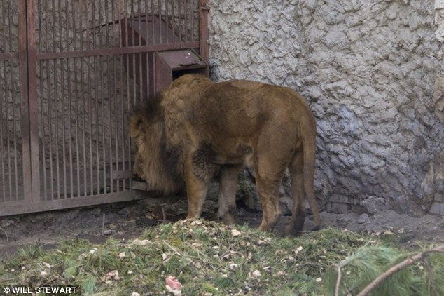 Dying: A starving lion is hanging its head by an empty feeding station at Kharkiv Zoo, Ukraine