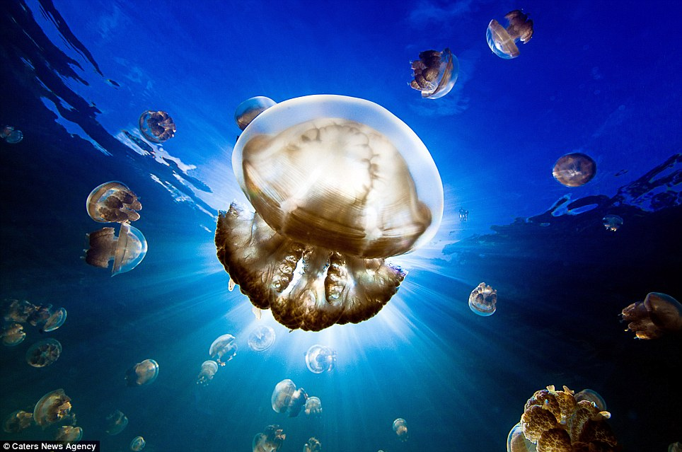 Pulsating critters: The small saltwater lake is home to millions of golden jellyfish, which swim from one end of the lake to the other twice a day