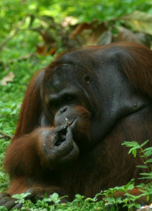 Having a drag: Guests who visit the zoo throw pre-lit cigarette butts to the adult male known as Kirno