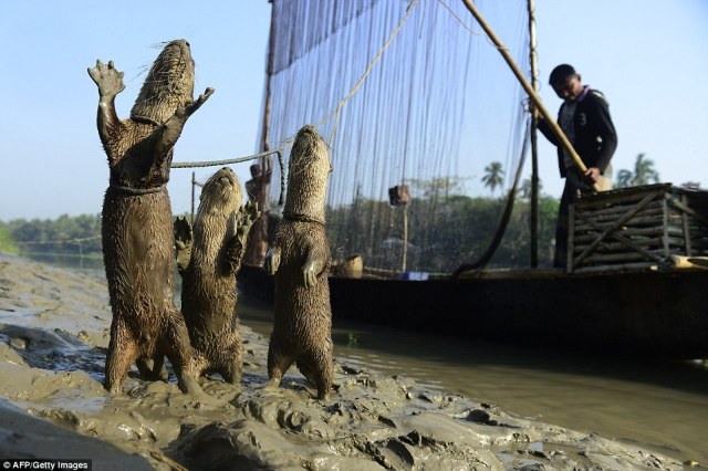 article-2585932-1C75383E00000578-692_964x642 Fishing with otters: Age-old Bangladeshi tradition involves harnessing mammals ... - Daily Mail