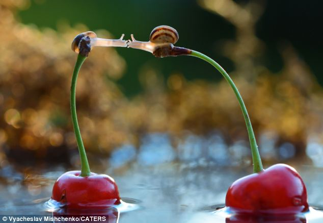 Almost there: They finally lock lips while balancing carefully atop the cherry stems, which are floating in water