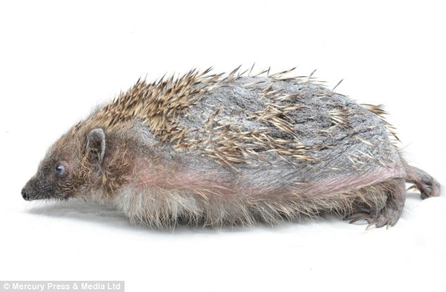 Hedgehog Without Spines