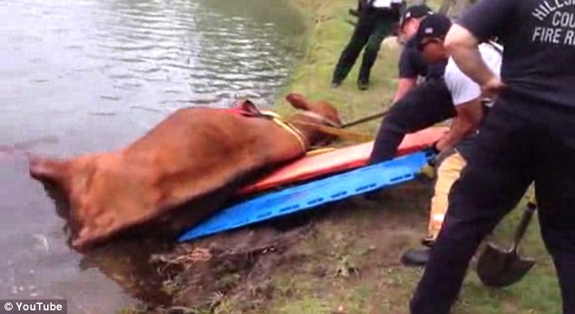 Almost there: The bull was then pulled to shore over stretchers placed to make it slide up the grass easier
