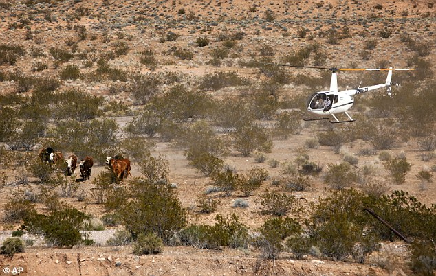 Constitutional: Contractors for the Bureau of Land Management round up cattle belonging to Cliven Bundy with a helicopter near Bunkerville, Nevada on Monday