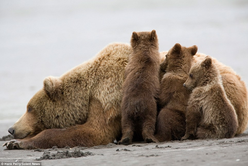 Playful: The offspring clambered over their mother while she laid out on the sand. The photographer, who waited for four hours to take the stunning photos, said the infants purred like kittens as they surrounded their parent