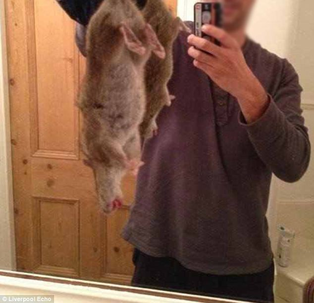 Creepy: This is the giant menacing super rat caught by a brave pest controller from Whelan Services