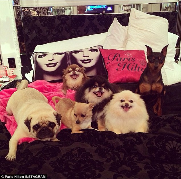 Furry family: Paris Hilton, 33, took to Instagram on Thursday to post an adorable snap of her six dogs laying on top of her bed