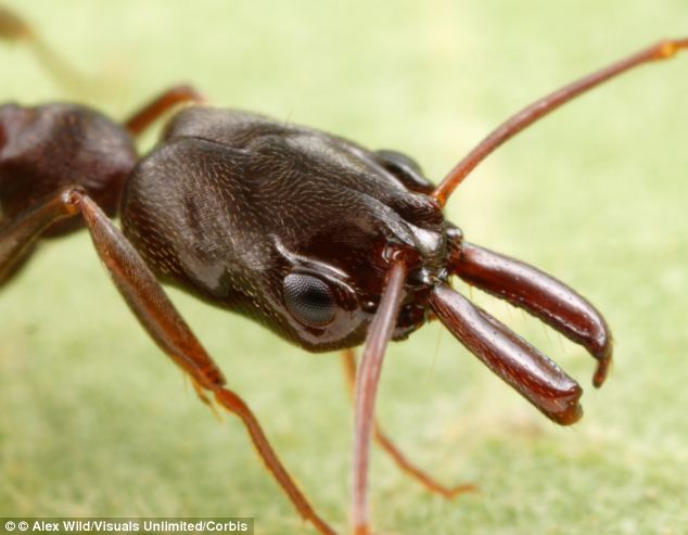 Most trap-jaw ants belong to the genus Odontomachus, named for their mandibles, or mouthparts, which are capable of opening 180 degrees.