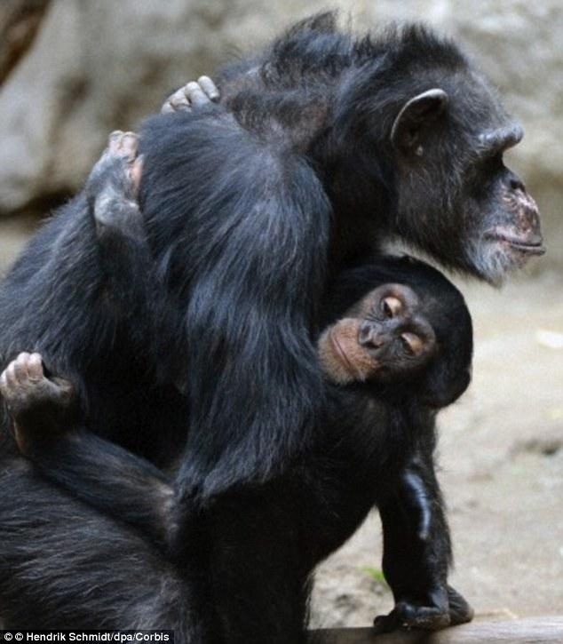 Resultat d'imatges de sexual attraction chimp