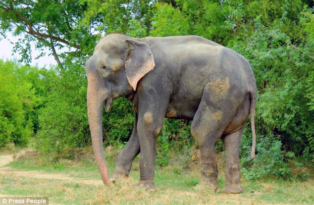North London-based charity Wildlife SOS stepped in to save Raju after learning of his plight in India