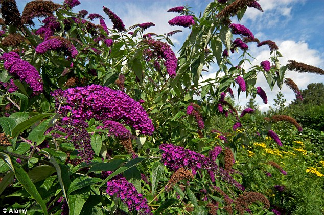 Buddleia: Also known as the 'Butterfly Bush' because its nectar attracts so many insects, you can see it flourishing in parks and gardens all over the country