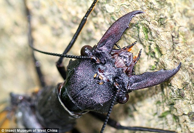 The huge mandibles at the front of the insect, shown, are not used for eating but rather to attract females and hold them in place during mating. The females of the species are also known for their ferocious bite, which can break human skin. Megaloptera insects typically live for only a few days as adults