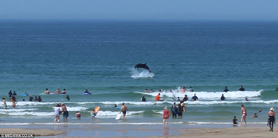 Impressive: Sunseekers in Gwithian, near St Ives in Cornwall, were amazed to see three dolphins leaping out of the water close to people swimming on Friday