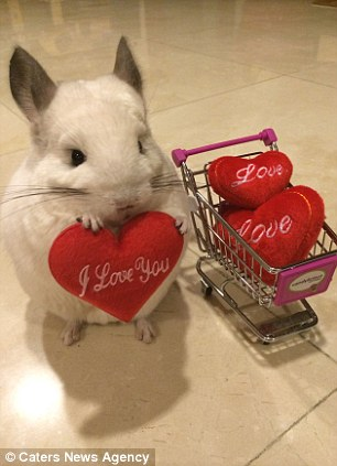 Chinchilla BuBu Loves Sipping Cocktails Hosting Tea