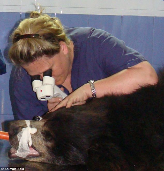 'It is still heartbreaking': Claudia , pictured examining a bear in 2011, got to know of the work done by Animals Asia, a charity set up by Briton Jill Robinson in 1998 to rescue bile bears in the region, through a colleague