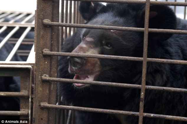 Desperate: Snoopy was cut and injured when he arrived at the bear sanctuary. The animals are either bred in captivity or captured and kept in tiny 'crush cages', built to be the same size as the bear