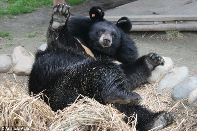 Rescued: Snoopy the bear, with his distinctive Mickey Mouse ears, plays happily in the enclosure he shares with two other moon bears at the sanctuary in Chengdu, China