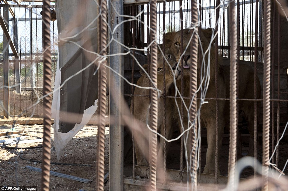 Victims: A lion and lioness in a steel pen inside their enclosure, the roof of which has collapsed from the force of the nearby explosion