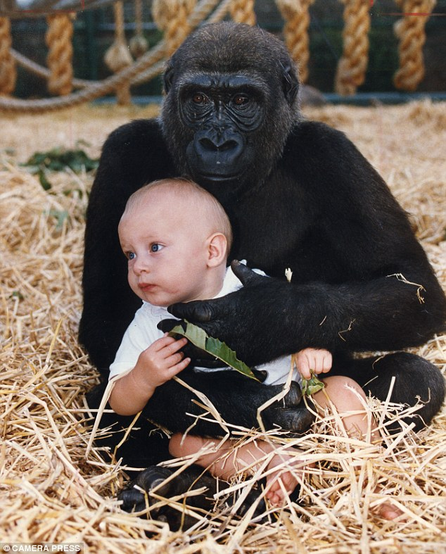 Playtime: Tansy as a baby with a gorilla at her father's Kent zoo. She was famously videoed playing with a gorilla in its pen when she was a baby