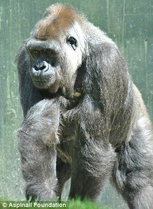 Tamki, 25, (left) and three-year-old Akou were also found killed in the ferocious attack by another gorilla