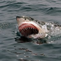 Man attacked and Killed by Shark In Byron Bay, Australia's east coast