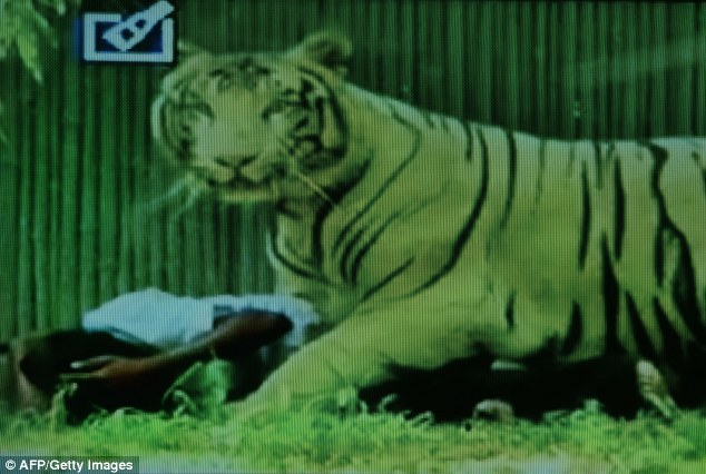 Attack: A screenshot from Indian television show the white tiger standing over the man after he jumped into its enclosure at the New Delhi Zoo