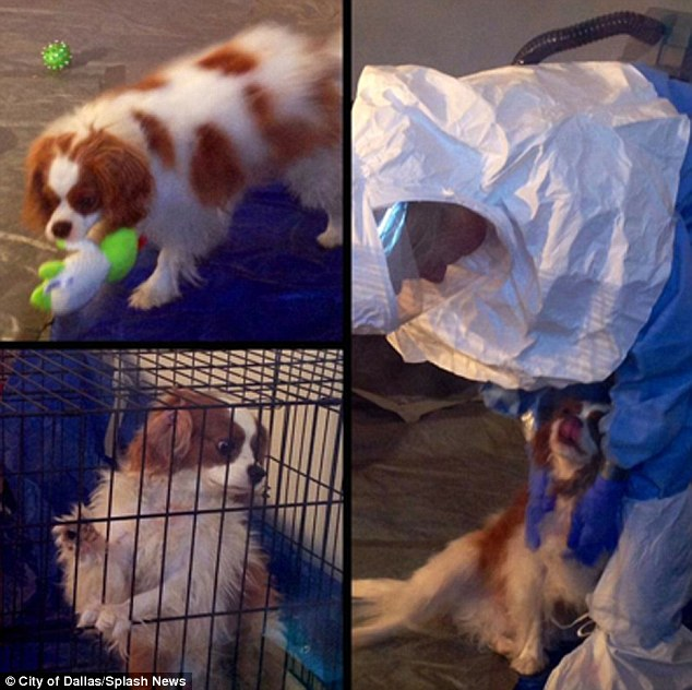 Furry friend: Ebola patient Nina Pham's pooch Bentley looks cheerful during quarantine in this photo released Thursday by City of Dallas. The sick nurse's beloved Cavalier King Charles Spaniel is being cared for by professionals wearing protective hazmat suits