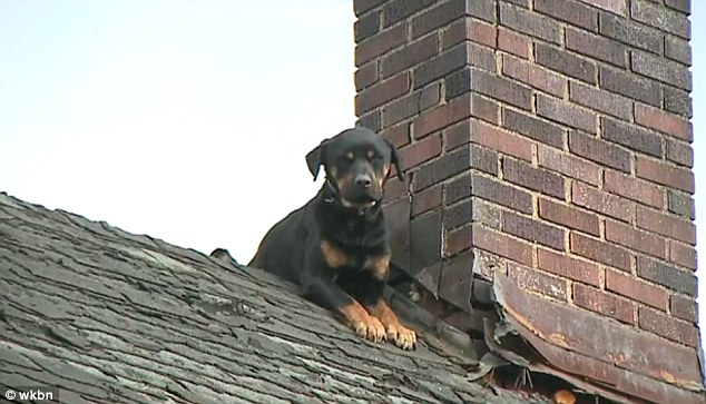 Fido on the roof: Isis the Rottweiler was rescued from a house roof in Youngstown, Ohio, after spending three days stranded