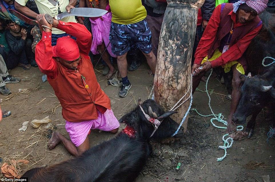 Un búfalo de agua gravemente herido espera su masacre como un devoto se prepara para cortar la cabeza del animal frente a multitudes viendo