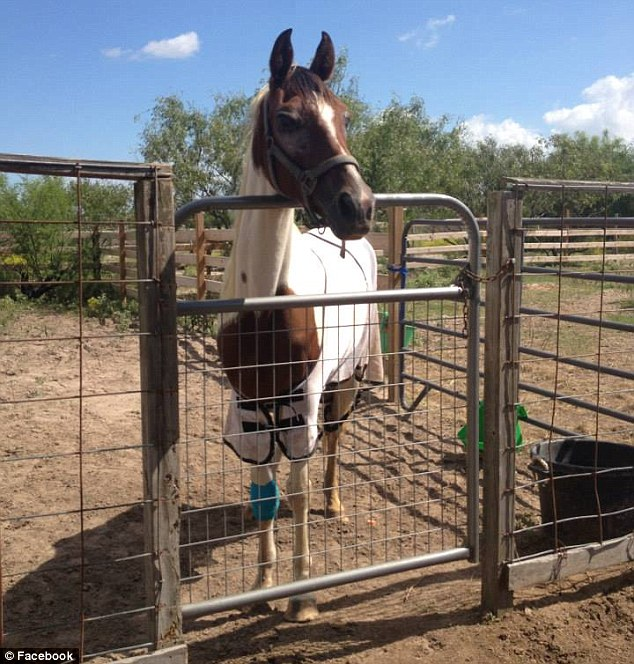 Victim: The duo reportedly tied up the mare (pictured after the alleged mutilation and shortly before her death), named Yanaha, and cut off her genitals, before leaving her for dead in a field they owned near Gregory, Texas