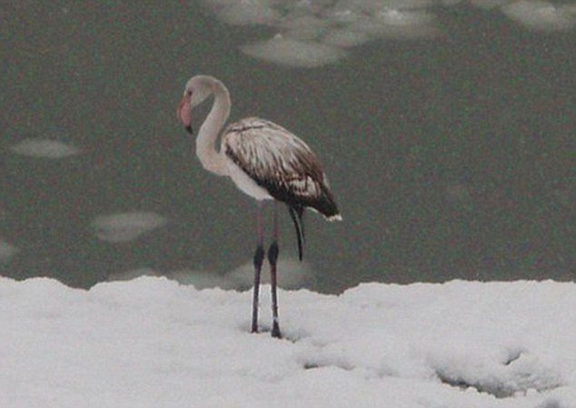 Chilly: One flamingo was spotted ambling along the snowy bank of the Usa River in Mezhdurechensk, Kemerovo region