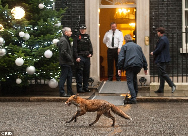 Police and political aides were given a surprise this morning when a fox trotted down Downing Street