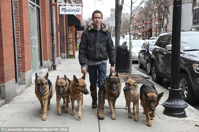 On the prowl: At the training kennel where he lives, he claims to be able to guide up to 15 free-walking dogs at the same time