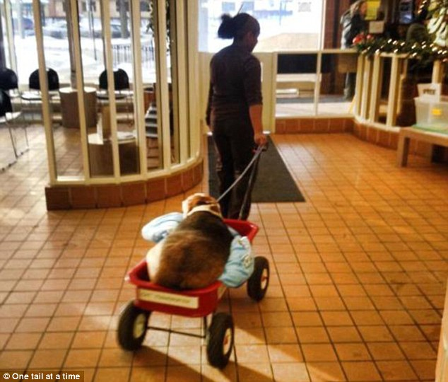 Image result for beagle in a wagon