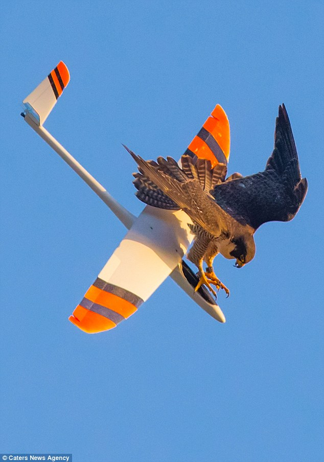 Down you go: The falcon takes down a glider in South Bay, Los Angeles, after it flies to close to her nest