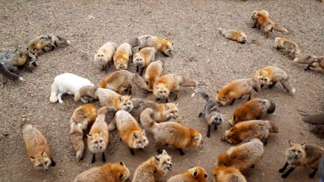 Resultado de imagem para fox village miyagi