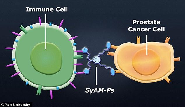 Célula inmunitaria detectando a la célula de cáncer de próstata a través del mini-anticuerpo (SyAM).