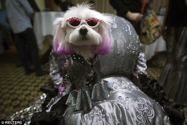Ombre ears: The models at fashion week have nothing on this pup's chic dye job