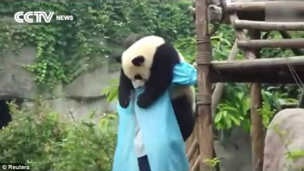 Bear hug: The heart warming panda cuddles in the arms of his breeder at the sanctuary
