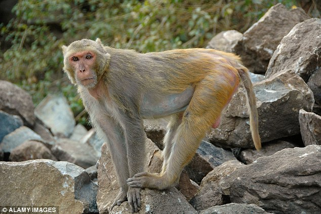 At least four rhesus macaques - monkeys that were kept in a separate part of the 500-acre facility - have been exposed to the bacteria (stock image)