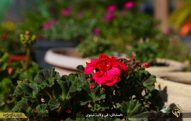 Pansies appear to be a popular choice among the few green fingered residents of Islamic State in Iraq.