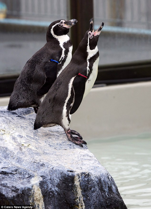 Penguin posers: The Humboldts, who live at Folly Farm, Pembrokeshire, are celebrating their first anniversary