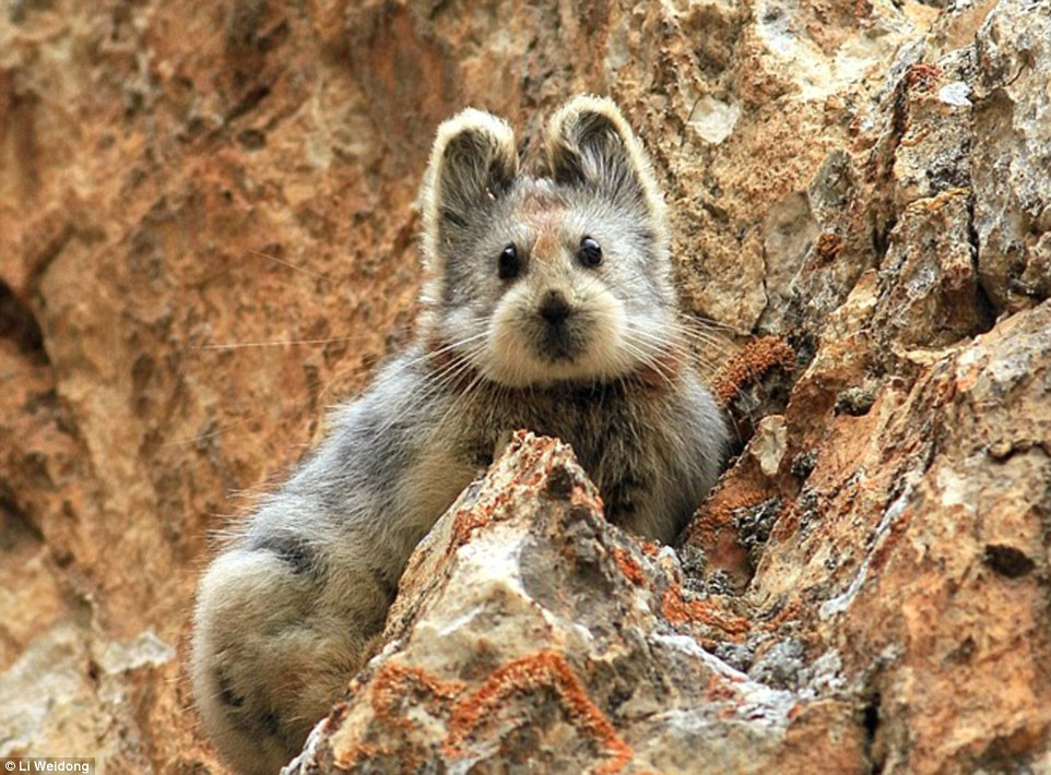 Adorable: The Ili Pika is one of the world's rarest mammals, and has been spotted for the first time in 20 years in its natural territory in the Xinjiang region of northwestern China