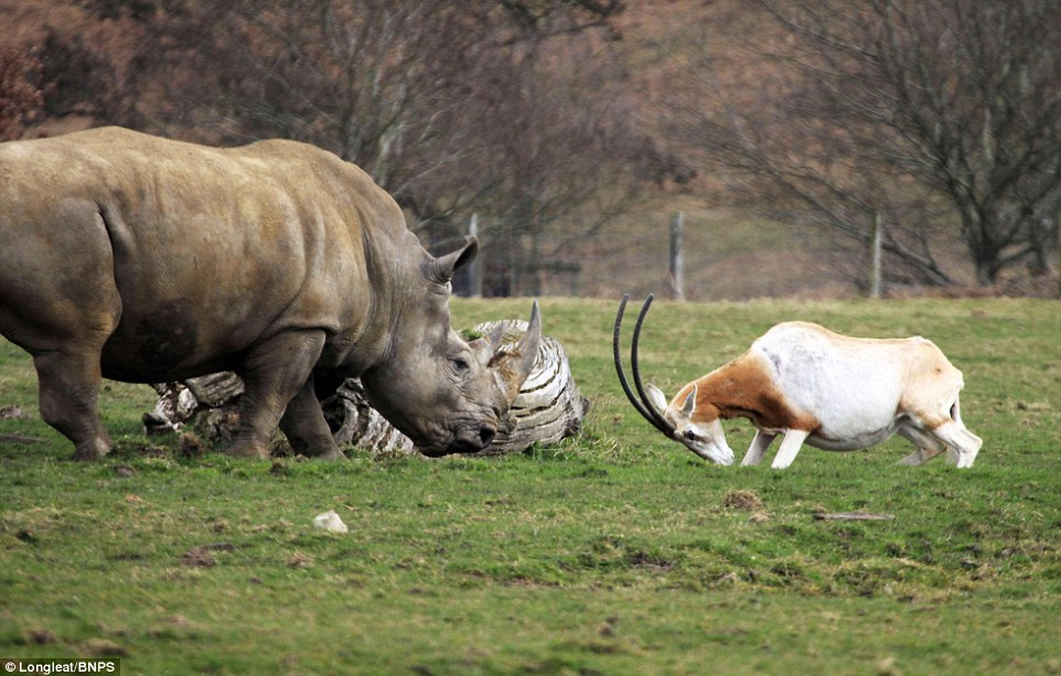 Dramatic Moment Mother Antelope Clashed Horns With A Rhino