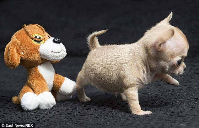 Similar size: Toudi is so small he could be mistaken for a cuddly toy. His owner says they have to be careful because he is the same size as the floor