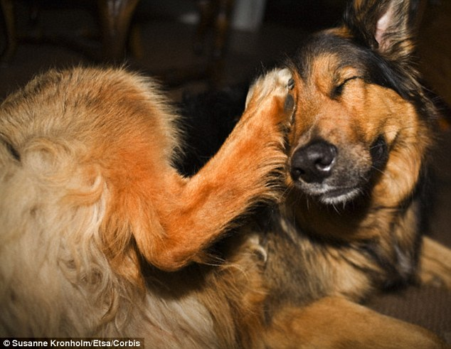 Experts claim that like humans, dogs and cats can react to proteins in ...